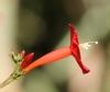 Ipomoea hederifolia L