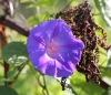 Ipomoea indica (Burm.) Merr