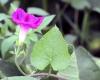 Ipomoea purpurea (L.) Roth. Fleur et feuille.