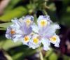 Iris japonica Thunb.