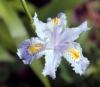 Iris japonica Thunb