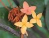Ixora coccinea L. Ixora. Hortensia du Japon.