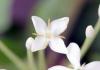 Fleur : Ixora finlaysoniana Wall. ex G. Don.