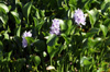 Jacinthe d'eau Eichhornia crassipes