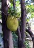 Artocarpus heterophyllus Lam Jacquier, Jacque