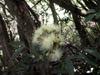 Syzygium jambos, Fleurs Jam-rose Jamrosat ou jambrosade