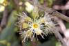 Jamblon ou jamelonier - Syzygium cumini. Fruit La Réunion.