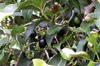 Jamblon ou jamelonier. Syzygium cumini. Fruit La Réunion.
