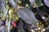 Jamblon ou jamelonier. Syzygium cumini Fruit La Réunion.