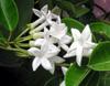 Jasmin de Madagascar ou liane de cire. Marsdenia floribunda (Brongn.) Schltr.