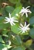 Jasminum multiflorum. Jasmin des haies. jasmin étoilé.