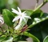 Jasminum multiflorum (Burm. F.) Andrews