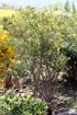 Jatropha integerrima. Jatropha fleur.