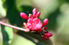 Fleurs Jatropha integerrima