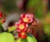 Jatropha gossypiifolia L