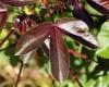 Jatropha gossypiifolia L. Feuille.