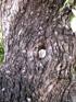 Ziziphus mauritiana Lam.