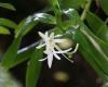 Jumellea fragrans (Thouars) Schltr.