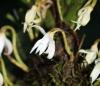 Jumellea triquetra. Fleur.