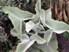 Kalanchoe à feuilles de chênes. kalanchoe beharensis