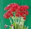 Kalanchoe blossfeldiana. Fleurs rouges.