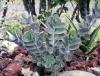 Kalanchoe laxiflora Baker.
