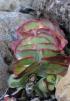 Kalanchoe thyrsiflora Harv.