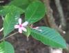Kopsia fruticosa. Fleur.