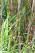 Lactuca indica L.