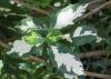 Graptophyllum pictum. Feuilles.