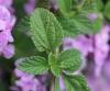 Lantana montevidensis (Spreng.) Briq.