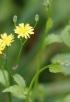 Fleurs Lapsana communis. Lastron marron.