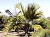 Latania lontaroides (Gaertn.) H.E. Moore, Latanier rouge, palmier endémique La Réunion