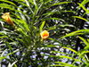 Fleurs Thévétia du Pérou, laurier jaune ou bois de lait. Thevetia peruviana