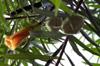Fleurs et fruits : Thévétia du Pérou, laurier jaune ou bois de lait. Thevetia peruviana