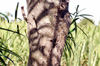 Tronc Thévétia du Pérou, laurier jaune ou bois de lait. Thevetia peruviana