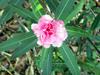 Nerium oleander L