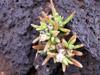 Delosperma napiforme (N.E. Br.) Schwantes