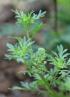Lepidium didymum L Herbe cressonnette