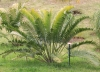 Lepidozamia hopei (W.Hill) Regel