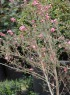 Leptospermum scoparium. Myrte de Nouvelle Zélande.