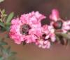 Leptospermum scoparium J.R.Forst. & G.Forst