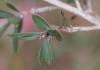 Feuilles Leptospermum scoparium.