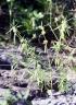 Leucas lavandulifolia Sm.