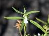 Leucas lavandulifolia Sm