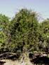 Liane bois d'olive - Secamone volubilis, Endémique La Réunion et Maurice.