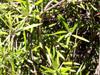 Liane bois d'olive