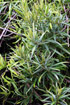 Secamone volubilis. Liane bois d'olive