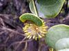 Liane croc de chien. Smilax anceps Willd.