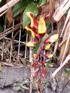 Liane de Mysore ou Thunbergie de Mysore - Thunbergia mysorensis